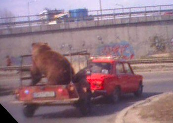 Picture of a bear on a trailer