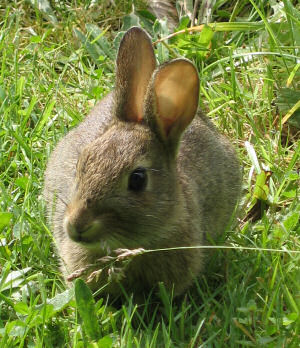Picture of a rabbit sitting in the grass
