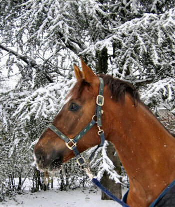 Picture of a horse with a snowed in tree in the background