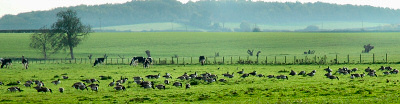 Picture of geese grazing on a field