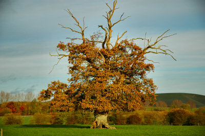 Picture of a tree in autumn colours on a field