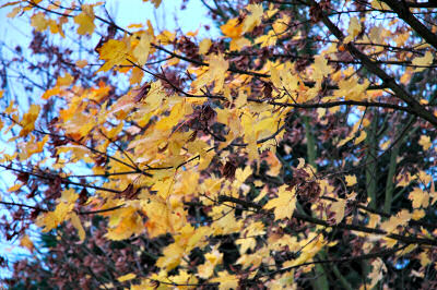 Picture of yellow autumn leaves on a tree