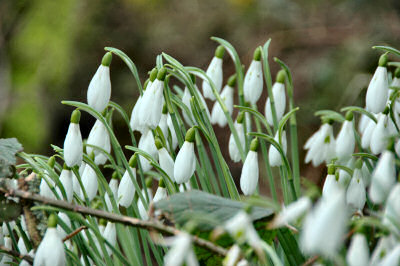 Picture of snowdrops in bloom