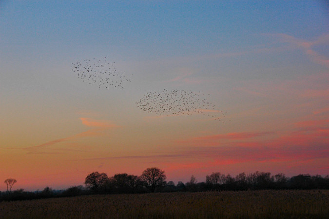 Picture of two flocks of starlings over a flat landscape