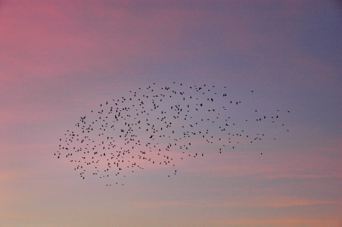 Picture of a flock of starlings in the evening sky