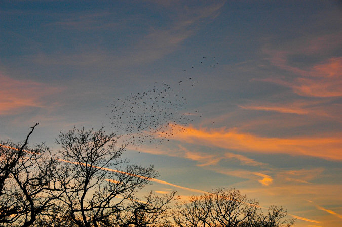 Picture of a group of starlings flying over some bare trees