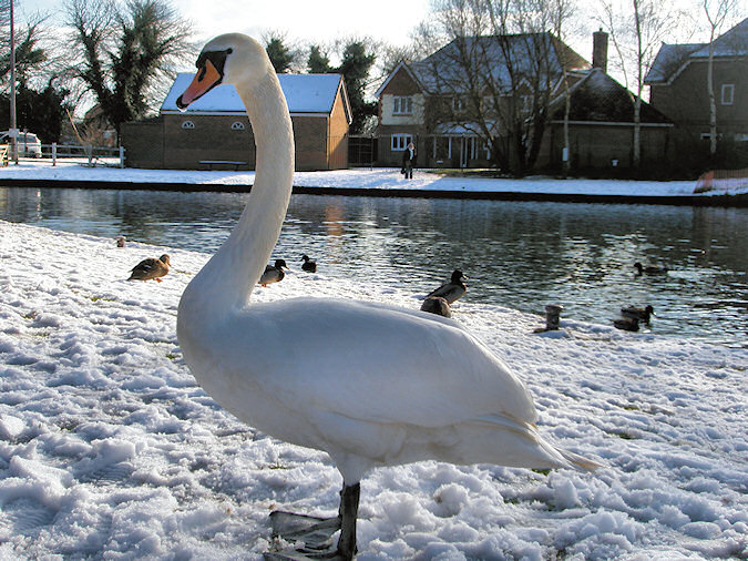Picture of a swan standing on snow next to a canal