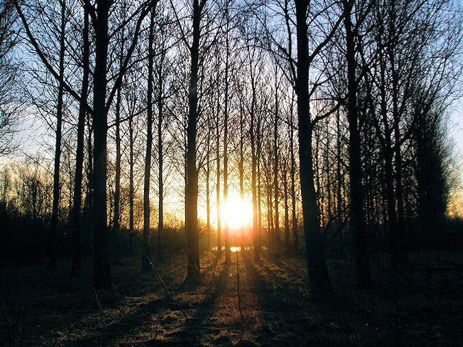 Picture of a sunrise seen through a tree plantation with mature trees