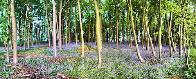 Panoramic picture of a carpet of bluebells in a wood