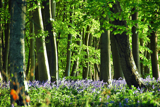 Picture of some trees with their fresh green and bluebells below