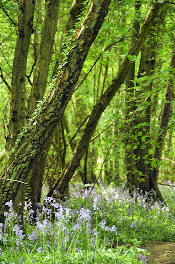 Picture of Bluebells under a variety of trees