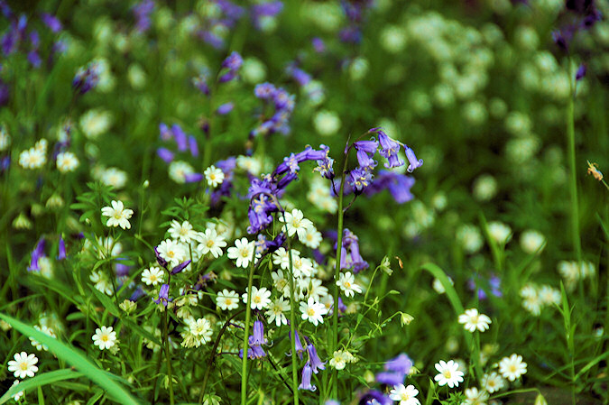 Picture of Bluebells and other flowers