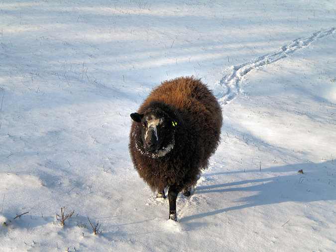 Picture of a black and dark brown sheep standing in fresh white snow