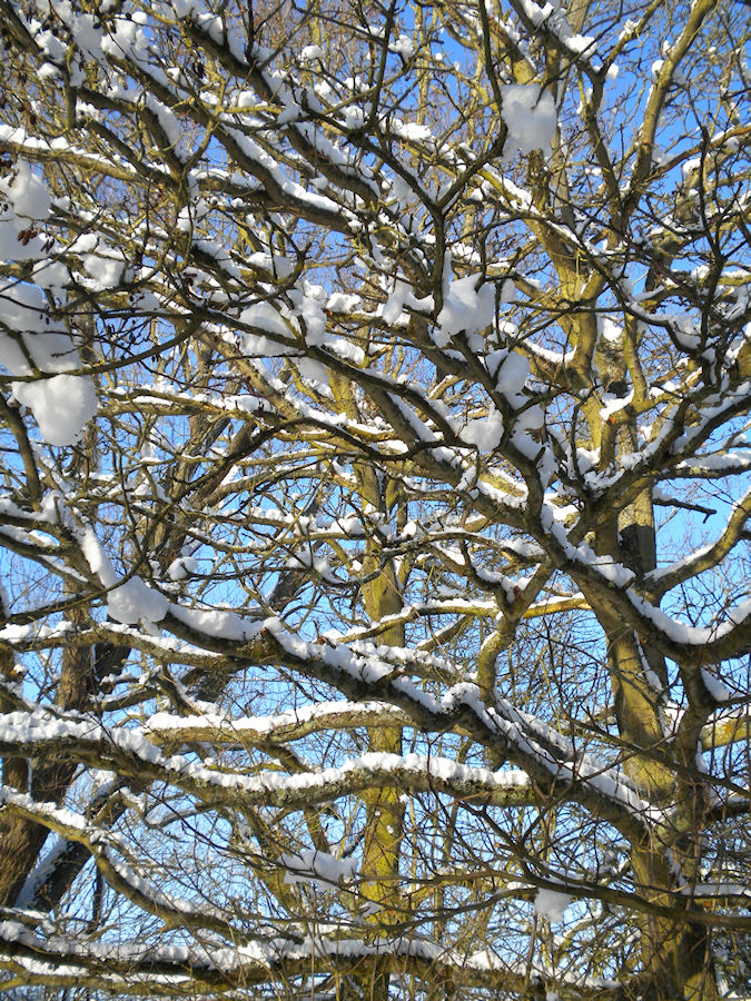 Picture of snow covered branches on a tree
